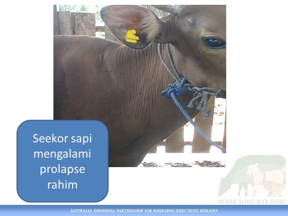 AUSTRALIA INDONESIA PARTNERSHIP FOR EMERGING INFECTIOUS DISEASES Seekor sapi mengalami prolapse rahim
