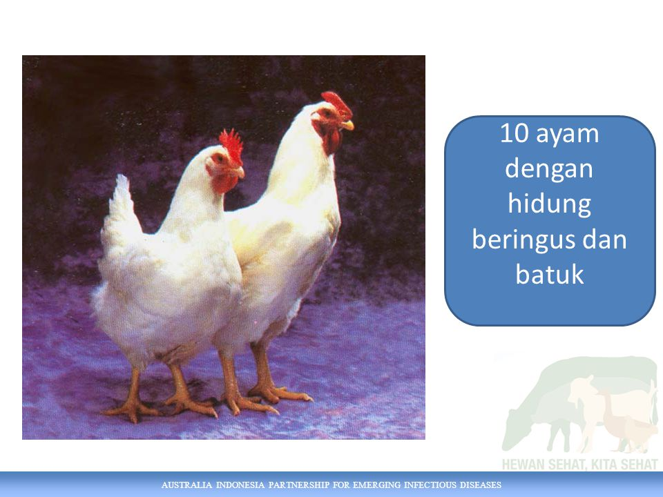 AUSTRALIA INDONESIA PARTNERSHIP FOR EMERGING INFECTIOUS DISEASES 10 ayam dengan hidung beringus dan batuk