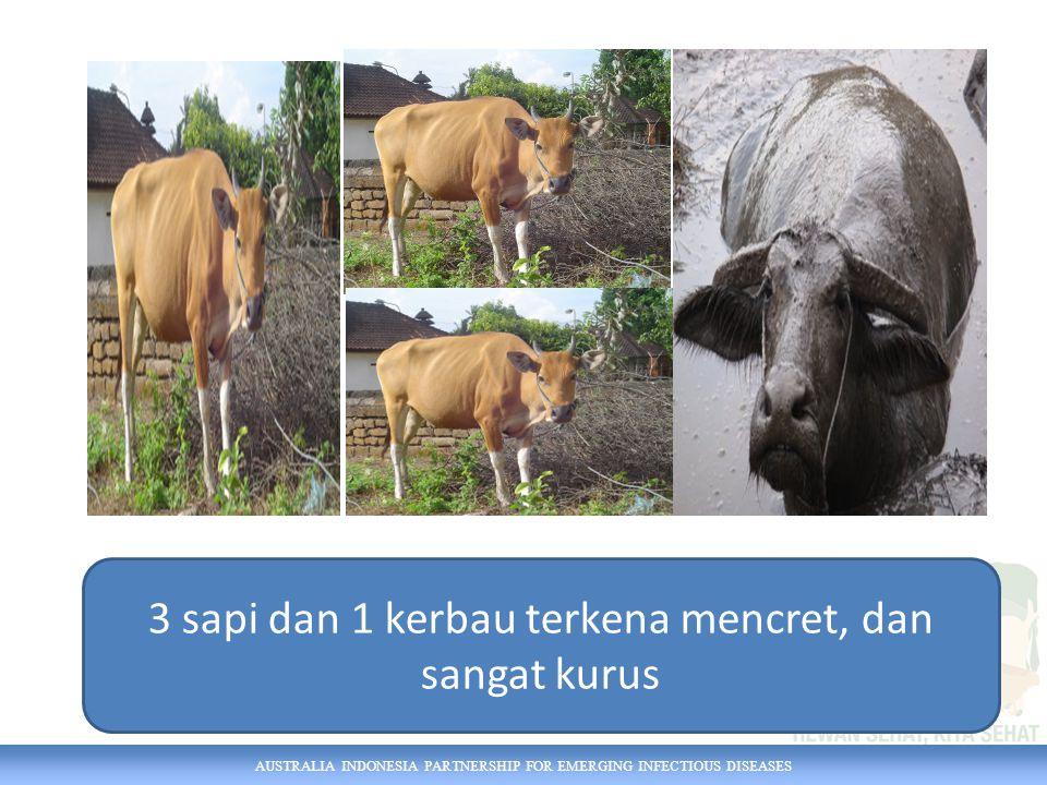 AUSTRALIA INDONESIA PARTNERSHIP FOR EMERGING INFECTIOUS DISEASES 3 sapi dan 1 kerbau terkena mencret, dan sangat kurus
