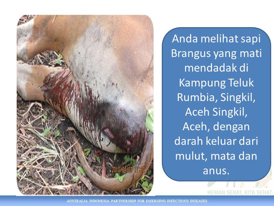 AUSTRALIA INDONESIA PARTNERSHIP FOR EMERGING INFECTIOUS DISEASES Anda melihat sapi Brangus yang mati mendadak di Kampung Teluk Rumbia, Singkil, Aceh Singkil, Aceh, dengan darah keluar dari mulut, mata dan anus.