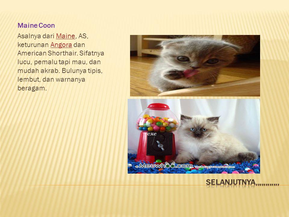 Maine Coon Asalnya dari Maine, AS, keturunan Angora dan American Shorthair.