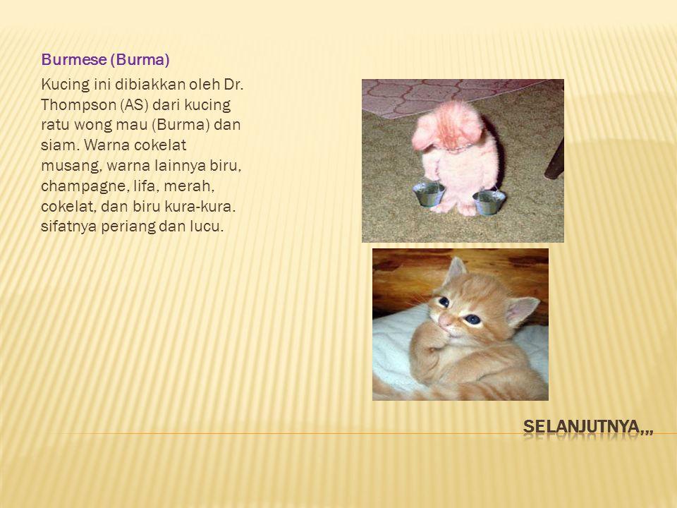 Burmese (Burma) Kucing ini dibiakkan oleh Dr. Thompson (AS) dari kucing ratu wong mau (Burma) dan siam. Warna cokelat musang, warna lainnya biru, cham