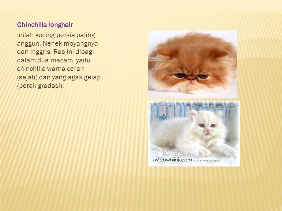 Chinchilla longhair Inilah kucing persia paling anggun. Nenek moyangnya dari Inggris. Ras ini dibagi dalam dua macam, yaitu chinchilla warna cerah (se