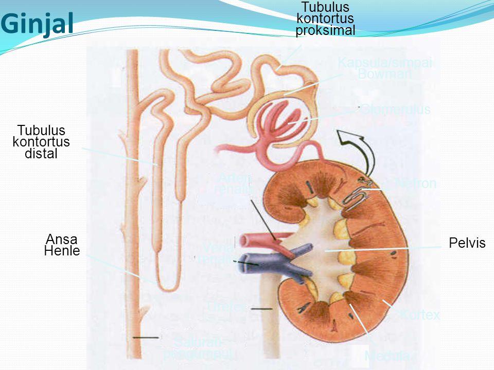 Tubulus kontortus distal Tubulus kontortus proksimal Ansa Henle Saluran pengumpul Ureter Medula Kortex Nefron Arteri renalis Vena renalis Glomerulus K
