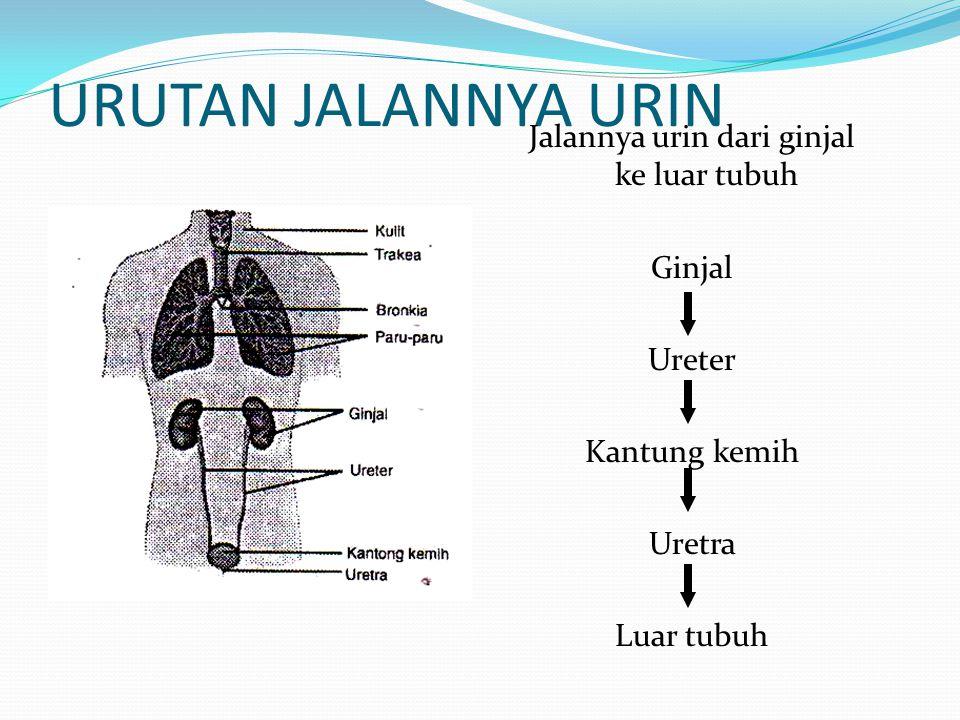 URUTAN JALANNYA URIN Jalannya urin dari ginjal ke luar tubuh Ginjal Ureter Kantung kemih Uretra Luar tubuh