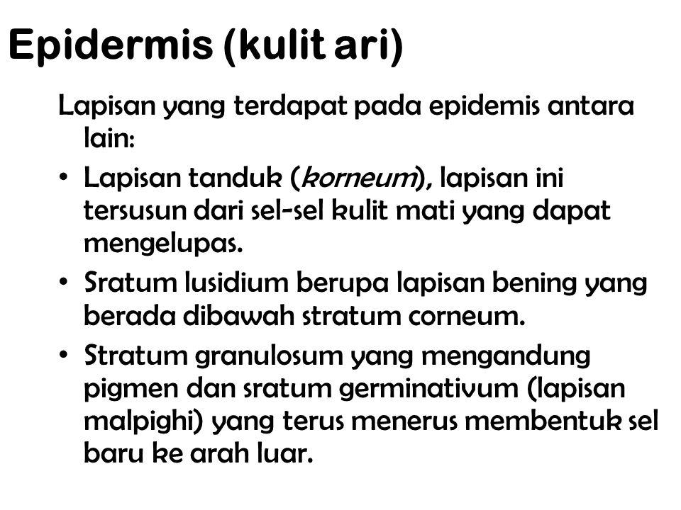 a. Epidermis (kulit ari) Lapisan yang terdapat pada epidemis antara lain: Lapisan tanduk (korneum), lapisan ini tersusun dari sel-sel kulit mati yang