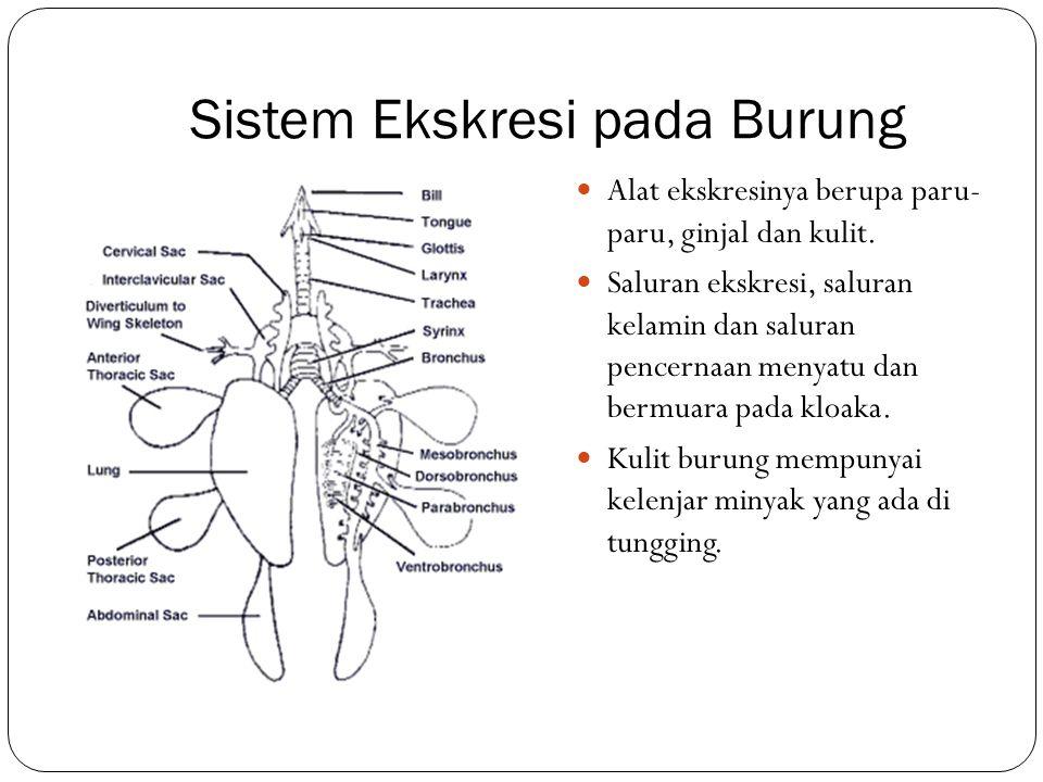 Sistem Ekskresi pada Burung Alat ekskresinya berupa paru- paru, ginjal dan kulit. Saluran ekskresi, saluran kelamin dan saluran pencernaan menyatu dan