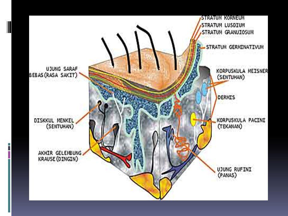 Berkaitan dengan cortex Somatosensorik Stereognosis kemampuan indera peraba untuk mengidentifikasikan objek.