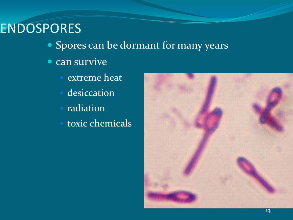 13 ENDOSPORES Spores can be dormant for many years can survive extreme heat desiccation radiation toxic chemicals