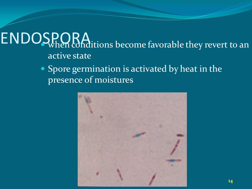 14 ENDOSPORA when conditions become favorable they revert to an active state Spore germination is activated by heat in the presence of moistures