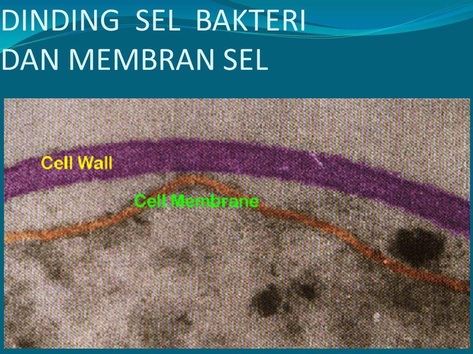 3 DINDING SEL Ddg sel mengelilingi membran Sel Secara struktural, ddg sel diperlukan untuk : 1) mengelola bentuk sel 2) melawan tekanan osmose 3) tempat melekatnya bacteriophages 4) dasar perlekatan bentuk alat tambahan ke permukaan