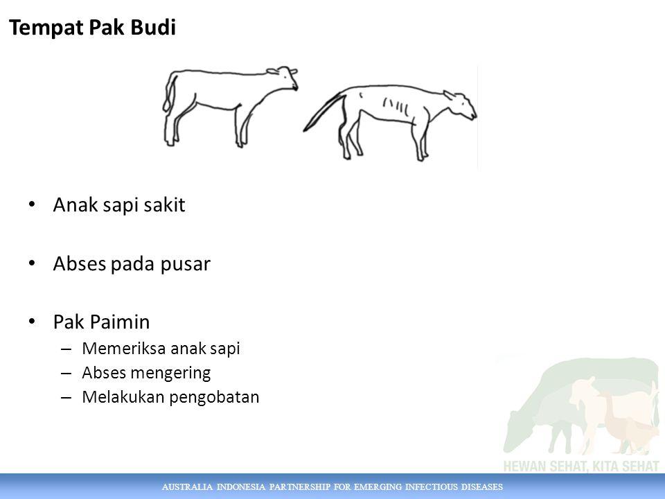 AUSTRALIA INDONESIA PARTNERSHIP FOR EMERGING INFECTIOUS DISEASES Anak sapi sakit Abses pada pusar Pak Paimin – Memeriksa anak sapi – Abses mengering –