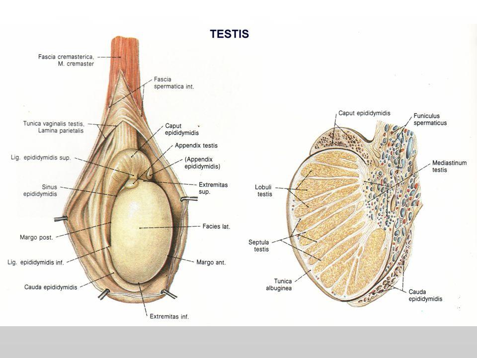 Epididymis Saluran transport sperma pertamaSaluran transport sperma pertama caput, corpus dan caudacaput, corpus dan cauda Mempunyai 4 fungsi :Mempunyai 4 fungsi : 1) Transpor sperma Transport1) Transpor sperma Transport 2) konsentrasi sperma2) konsentrasi sperma 3) Penyimpanan sperma3) Penyimpanan sperma 4) Maturasi/pematangan sperma (khususnya di daerah cauda)4) Maturasi/pematangan sperma (khususnya di daerah cauda)