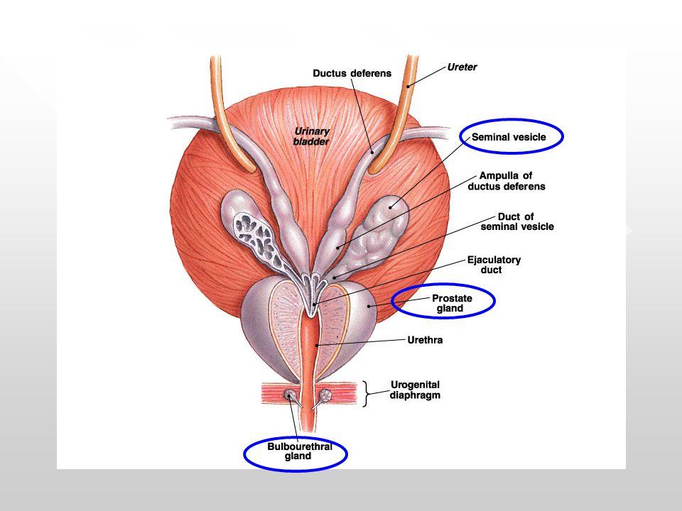 Fungsi-Fungsi Kelenjar Aksesoris 1.Sekret Vesikula Seminalis  fruktosa (sumber energi spermatozoa) untuk motilitas dan Flavin (forensik) mendeteksi adanya semen fruktosa (sumber energi spermatozoa) untuk motilitas dan Flavin (forensik) mendeteksi adanya semen 2.Sekret Glandula Prostata  asam sitrat (proses likuifikasi ejakulat dan memelihara keseimbangan osmotik plasma semen), spermin,spermidin, IgA dan IgG (menstimulasi kehidupan spermatozoa) 3.