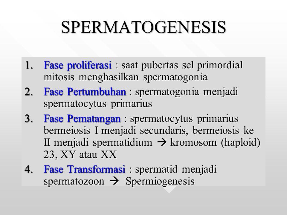 SPERMATOGENESIS 1.Fase proliferasi : saat pubertas sel primordial mitosis menghasilkan spermatogonia 2.Fase Pertumbuhan : spermatogonia menjadi sperma