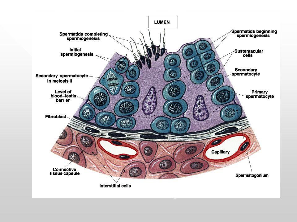 TESTOSTERON: 1.diperlukan dalam proses pembentukan sperma (spermatogenesis) 2.