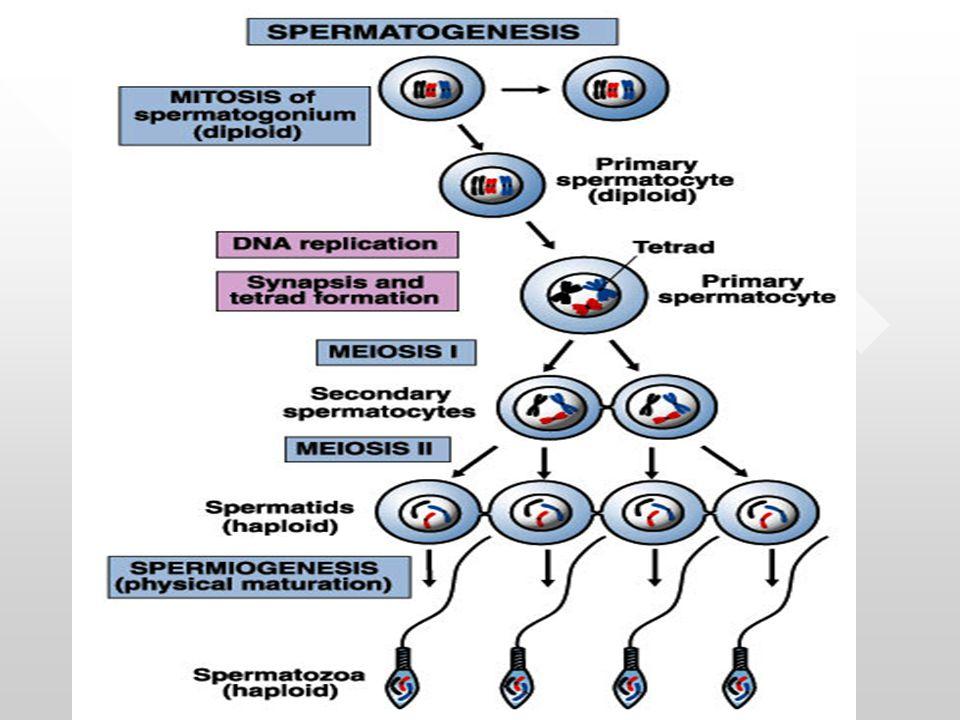 Sistem Hormon Reproduksi pria Hormon: Substansi kimia yang disekresi oleh ke- lenjar endokrin, berfungsi mengatur pro ses tubuh, hormon dibawa ke organ tar- get spesifik & kejaringan oleh aliran da- darah.