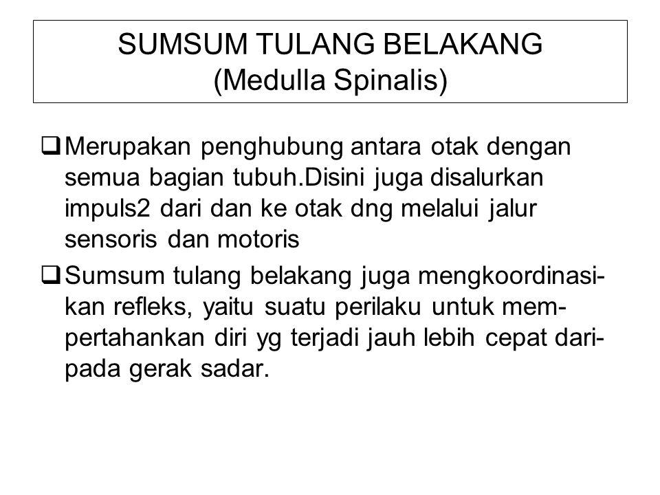SUMSUM TULANG BELAKANG (Medulla Spinalis)  Merupakan penghubung antara otak dengan semua bagian tubuh.Disini juga disalurkan impuls2 dari dan ke otak