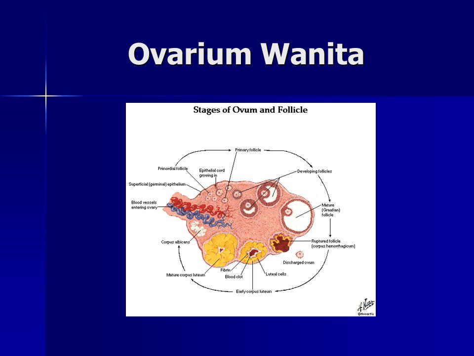 Ovarium Wanita Ovarium Wanita