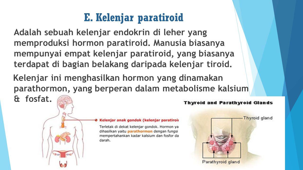 E. Kelenjar paratiroid Adalah sebuah kelenjar endokrin di leher yang memproduksi hormon paratiroid. Manusia biasanya mempunyai empat kelenjar paratiro