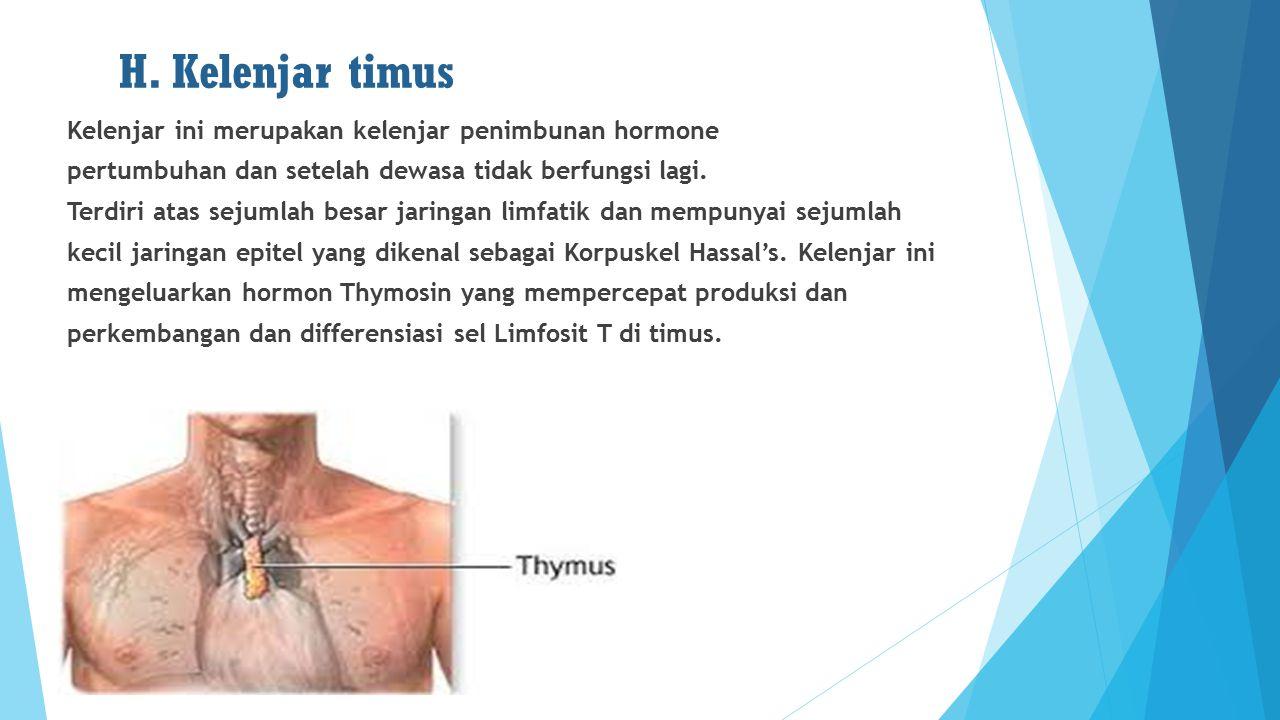 H. Kelenjar timus Kelenjar ini merupakan kelenjar penimbunan hormone pertumbuhan dan setelah dewasa tidak berfungsi lagi. Terdiri atas sejumlah besar