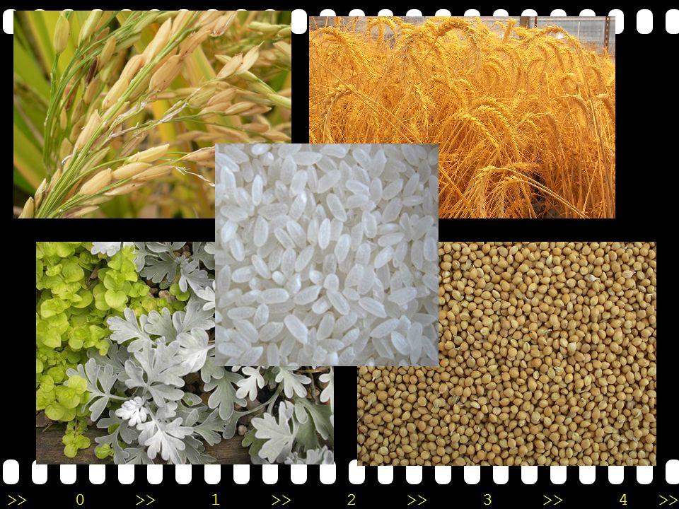 >>0 >>1 >> 2 >> 3 >> 4 >> Makanan pokok pada masa tersebut adalah padi-padian semacam gandum. Pada perkembangan berikut, beras pun menjadi makanan pok