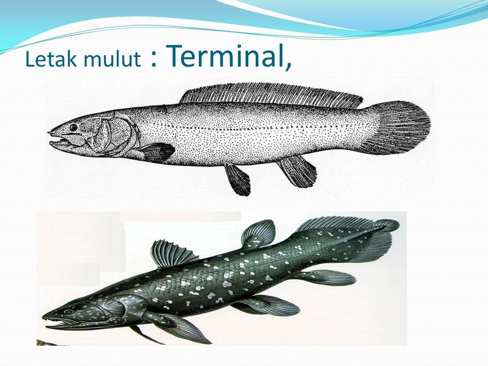 Letak mulut : Terminal,