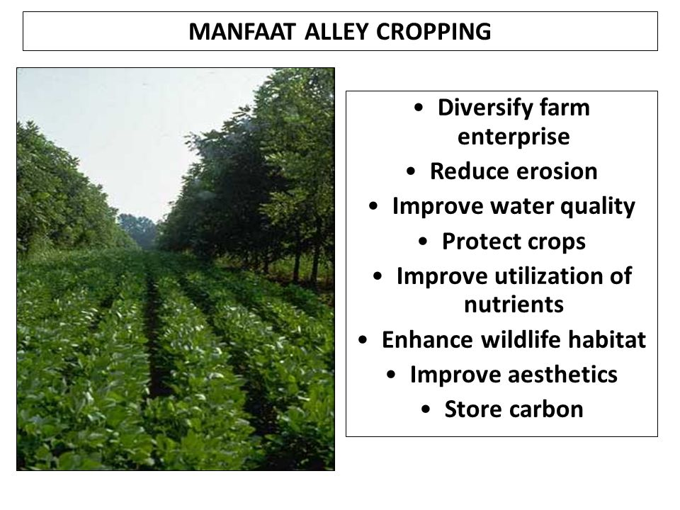 MANFAAT ALLEY CROPPING Diversify farm enterprise Reduce erosion Improve water quality Protect crops Improve utilization of nutrients Enhance wildlife