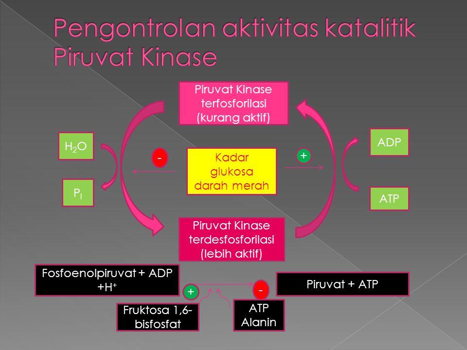 Piruvat Kinase terfosforilasi (kurang aktif) Piruvat Kinase terdesfosforilasi (lebih aktif) PIPI H2OH2O Kadar glukosa darah merah ADP ATP - + Fosfoenolpiruvat + ADP +H + Piruvat + ATP Fruktosa 1,6- bisfosfat ATP Alanin + -