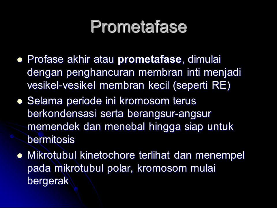 Prometafase Profase akhir atau prometafase, dimulai dengan penghancuran membran inti menjadi vesikel-vesikel membran kecil (seperti RE) Profase akhir