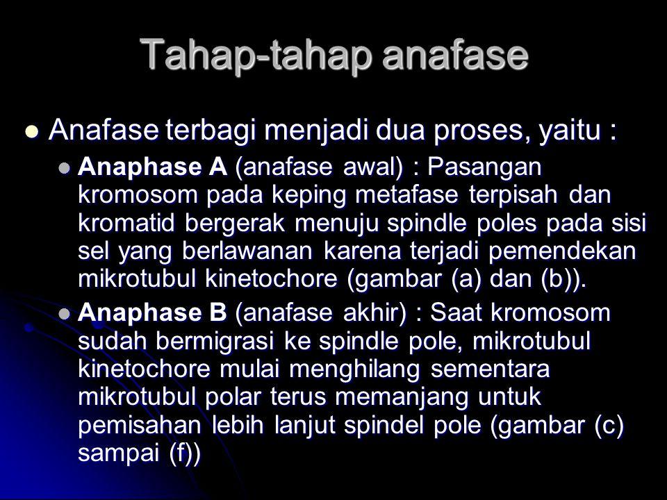 Tahap-tahap anafase Anafase terbagi menjadi dua proses, yaitu : Anafase terbagi menjadi dua proses, yaitu : Anaphase A (anafase awal) : Pasangan kromo