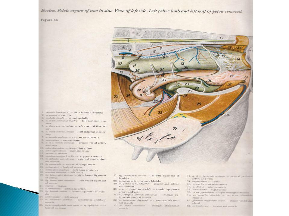 Saluran Paranefros (ductus mulleri) => estrogen => uterus dan tubafalopi Alat kelamin luar yang mulanya bersifat indeferen => estrogen => berdeferensiasi => labia mayor, labia minor dan clitoris Ductus mulleri berkembang menjadi saluran utama