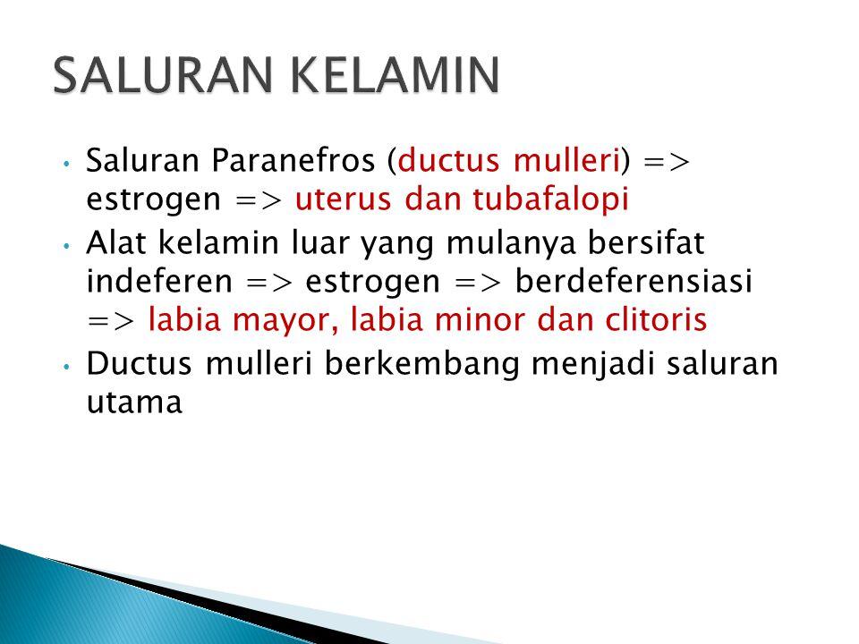 Saluran Paranefros (ductus mulleri) => estrogen => uterus dan tubafalopi Alat kelamin luar yang mulanya bersifat indeferen => estrogen => berdeferensi
