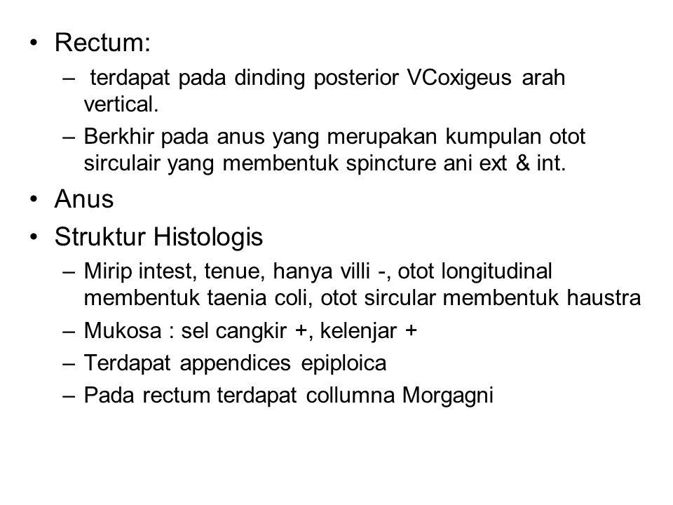 Rectum: – terdapat pada dinding posterior VCoxigeus arah vertical.