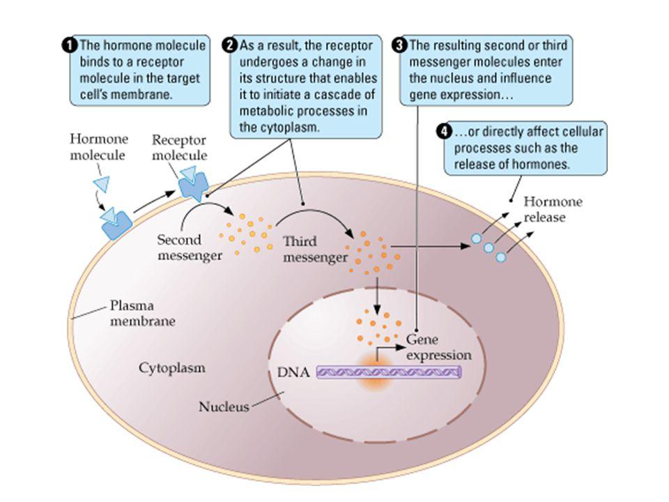 BERDASAR LOKASI RESEPTOR CELL SIGNALING DAPAT MELALUI RESEPTOR PADA UMUMNYA Signaling molecules hidrofilik atau berukuran cukup besar Signaling molecu