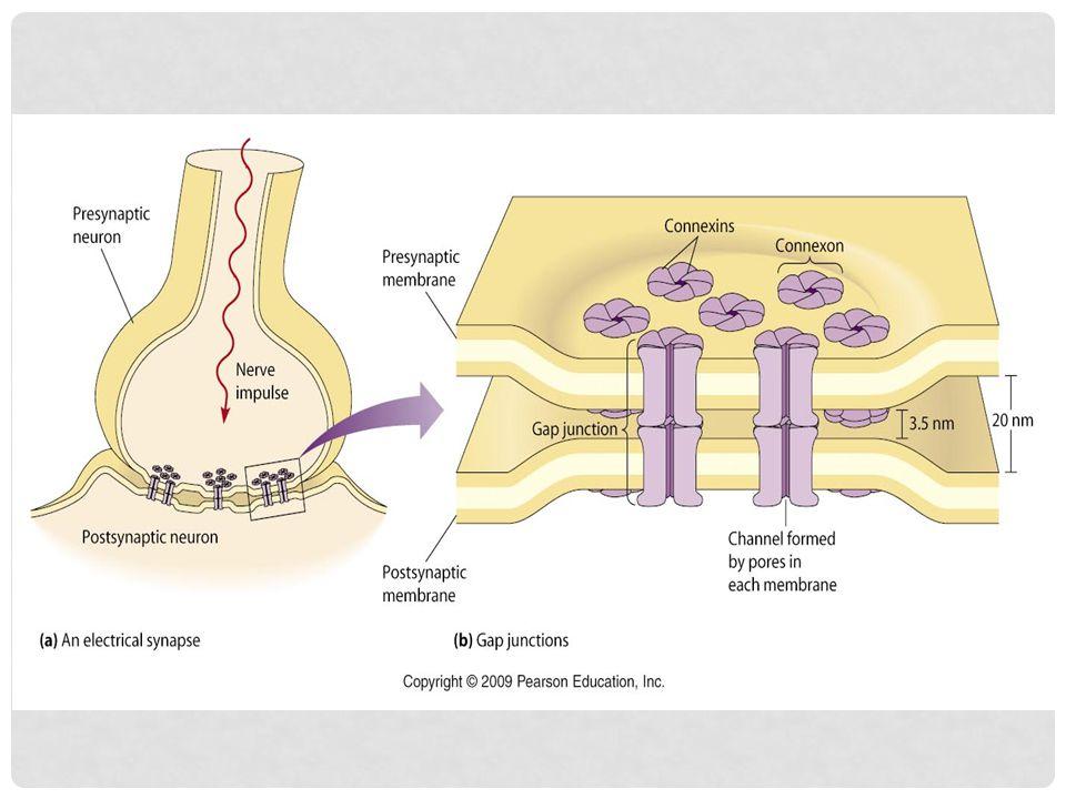 Model peran MSTN (myostatin) dalam perkembangan otot. Mekanisme autokrin diperlukan untuk membatasi jumlah serabut otot yang terbentuk sebagai respons