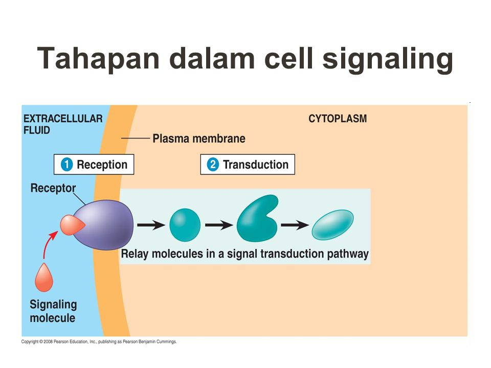Tahapan dalam cell signaling 1.Reception pengenalan molekul signal oleh sel target  ikatan antara molekul sinyal (first messenger) dengan reseptor 2.
