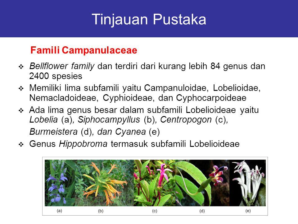 Tinjauan Pustaka  Bellflower family dan terdiri dari kurang lebih 84 genus dan 2400 spesies  Memiliki lima subfamili yaitu Campanuloidae, Lobelioida