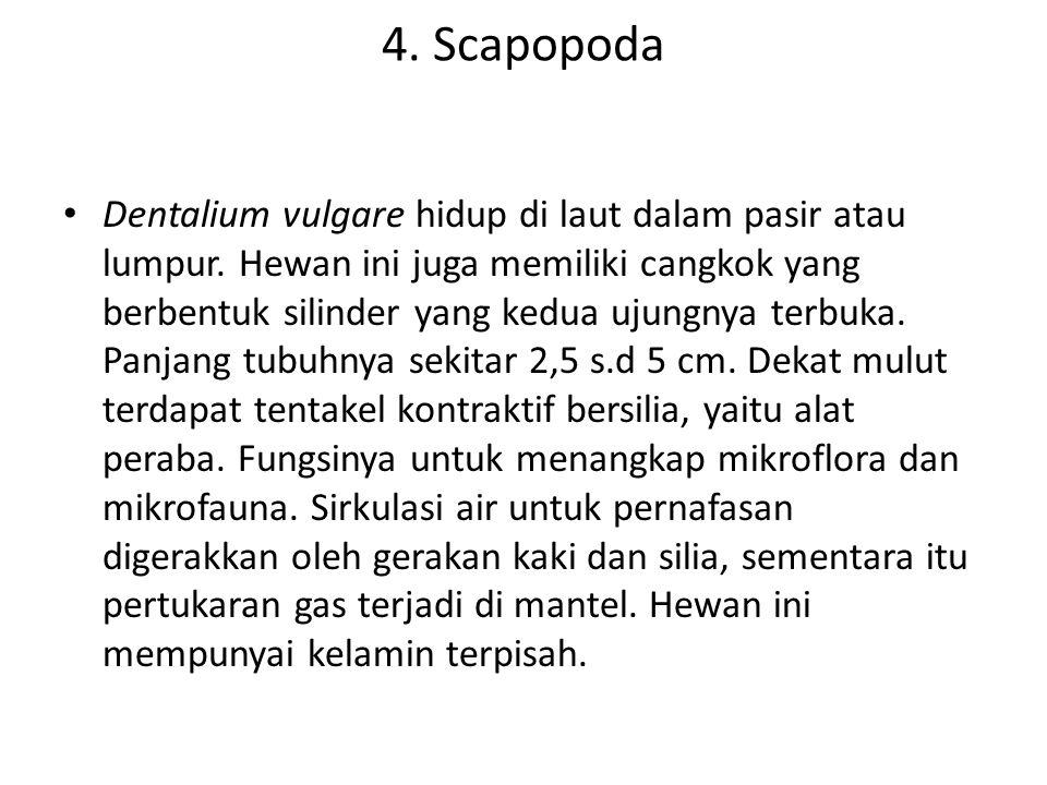 4. Scapopoda Dentalium vulgare hidup di laut dalam pasir atau lumpur. Hewan ini juga memiliki cangkok yang berbentuk silinder yang kedua ujungnya terb