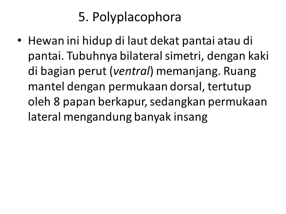 5. Polyplacophora Hewan ini hidup di laut dekat pantai atau di pantai. Tubuhnya bilateral simetri, dengan kaki di bagian perut (ventral) memanjang. Ru