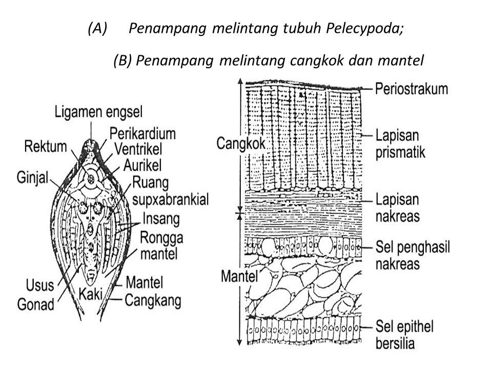 (A)Penampang melintang tubuh Pelecypoda; (B) Penampang melintang cangkok dan mantel