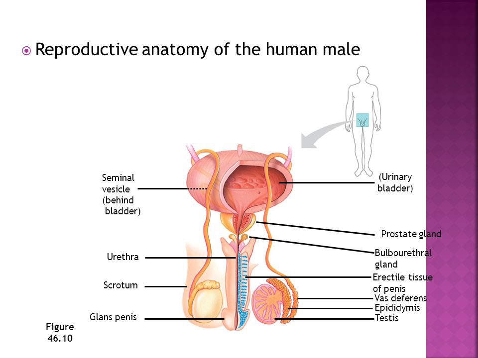  Reproductive anatomy of the human male Figure 46.10 Erectile tissue of penis Prostate gland (Urinary bladder) Bulbourethral gland Vas deferens Epidi