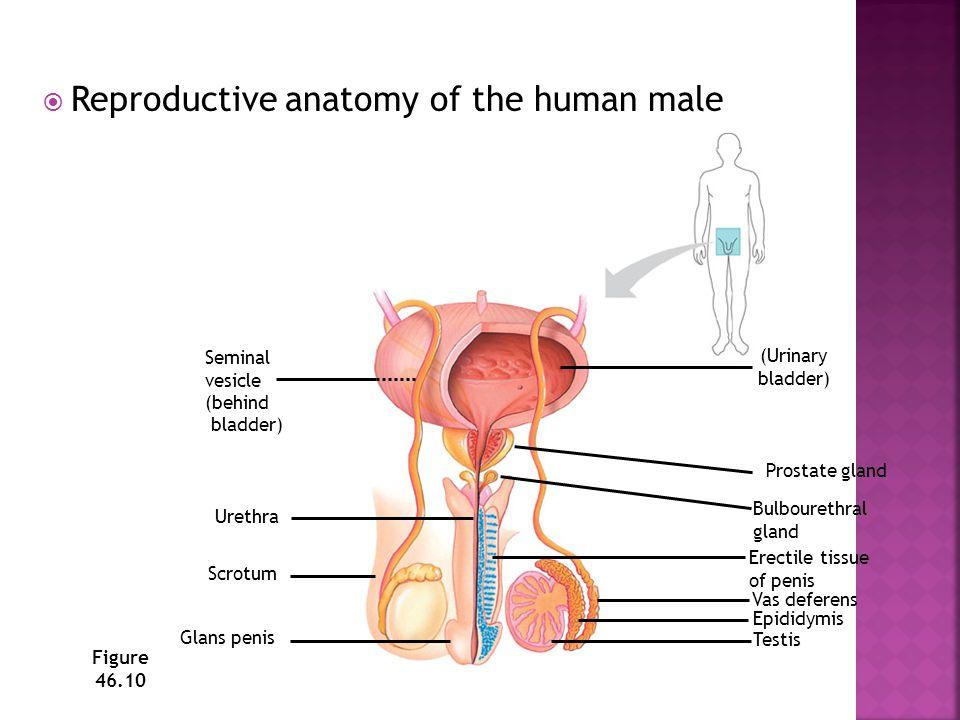 *ovarium *tuba falopii (oviduct, infundibulum) *uterus *serviks *vagina *vulva Pada prinsipnya saluran reproduksi betina semua hewan sama, yang membedakan adalah bentuk uterus dan serviks