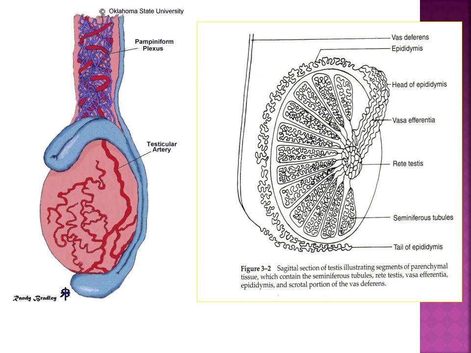 Vagina Uterus Cervix Ovaries Oviduct Uterine wall Endometrium Follicles Corpus luteum