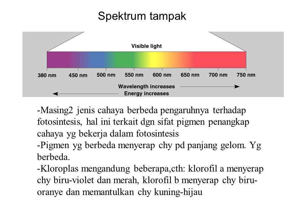 Spektrum tampak -Masing2 jenis cahaya berbeda pengaruhnya terhadap fotosintesis, hal ini terkait dgn sifat pigmen penangkap cahaya yg bekerja dalam fo