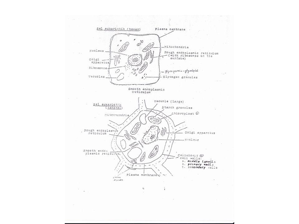 Siklus Calvin Dimulai dari CO 2 dan menghasilkan Glyceraldehyde 3- phosphate Tiga bagian siklus Calvin menghasilkan 1 produk molekul Tiga tahap –Fiksasi karbon –Reduksi CO2 –Regenerasi RuBP
