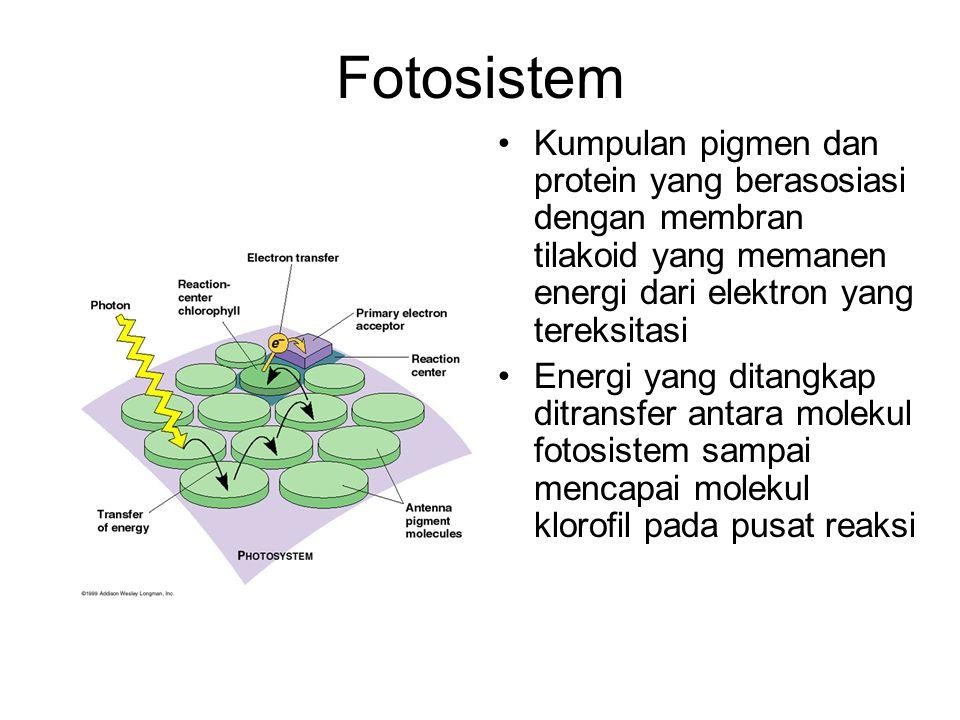 Fotosistem Kumpulan pigmen dan protein yang berasosiasi dengan membran tilakoid yang memanen energi dari elektron yang tereksitasi Energi yang ditangk