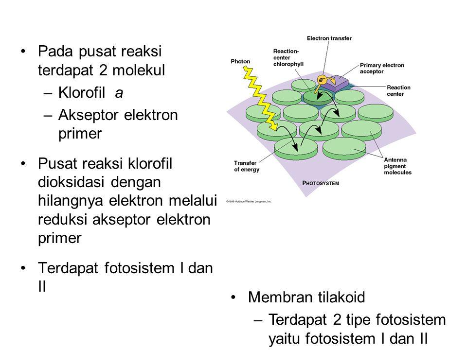 Pada pusat reaksi terdapat 2 molekul –Klorofil a –Akseptor elektron primer Pusat reaksi klorofil dioksidasi dengan hilangnya elektron melalui reduksi