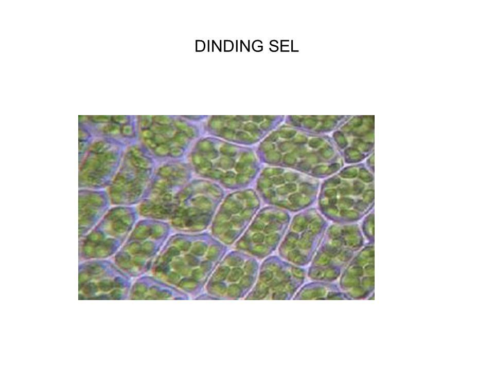 JARINGAN TUMBUHAN (PLANT TISSUE) 1.Jaringan meristematik Fungsi utama sel meristematik adl mitosis Terdapat pd jaringan (meristem ujung) pd titik tmbh akar dan batang Pd tumbuhan cicin (lingkar) jaringan meristematik adl kambium yg terdapat dlm batang Mitosis pd meristem menghslkan sel-sel untk pertumbuhan tanamannya Sel-sel tipis & berdinding tipis 2.
