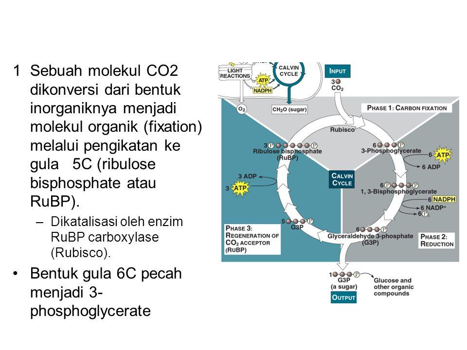 1Sebuah molekul CO2 dikonversi dari bentuk inorganiknya menjadi molekul organik (fixation) melalui pengikatan ke gula 5C (ribulose bisphosphate atau R